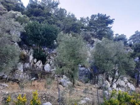 3 000 M2 2B Olivenhain Zum Verkauf In Ortaca Mergenli