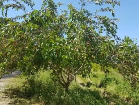 Dalyan Da Satılık Nar Bahçesi